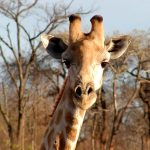 Characterized by its distinctive pattern, long neck, and long legs, many people first believed that giraffes were a cross between a camel and a leopard