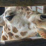 Reticulated giraffe has a dark coat