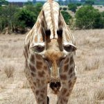 A giraffe is characterized by its long neck, long legs, and distinctive spotted pattern