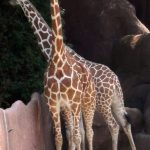 Characterized by its distinctive pattern, long legs, and long neck, many people first believed that giraffes were a cross between a camel and a leopard