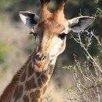 Reticulated giraffes, only found in Northern Kenya, have dark coats