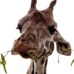 Reticulated giraffes, found only in Northern Kenya, have dark coats