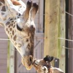 The reticulated giraffe has a dark coat with a web of narrow white lines while Masai giraffe has patterns like oak leaves