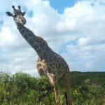 A giraffe's scientific name is Giraffa camelopardalis
