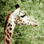 The reticulated giraffe, only found in northern Kenya, has a dark coat with a web of narrow white lines while a Masai giraffe has patterns like oak leaves