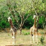 A reticulated giraffe, only found in northern Kenya, has a dark coat with a web of narrow white lines while the Masai giraffe has patterns like oak leaves