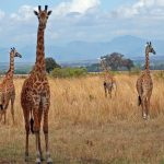 The reticulated giraffe, found only in northern Kenya, has a dark coat with a web of narrow white lines while a Masai giraffe, from Kenya, has patterns like oak leaves