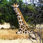 The reticulated giraffe, found only in northern Kenya, has a dark coat with a web of narrow white lines while the Masai giraffe, from Kenya, has patterns like oak leaves