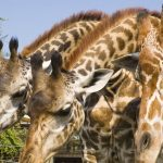 Researchers believe that reticulated giraffes are genetically different enough to be reclassified as a separate species