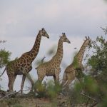 Giraffe's scientific name is Giraffa camelopardalis because of the belief that giraffes were a cross between a camel and a leopard