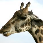 Giraffes live mainly in savanna areas