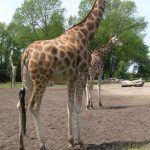 Giraffes are characterized by its long neck, long legs, and distinctive spotted pattern