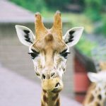 Both female and male giraffe have horns and are formed from ossified cartilage