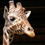 Giraffes are born with their horns called 'ossicones'