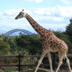 A giraffe is born with its horns called 'ossicones'