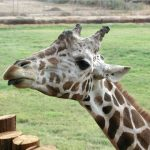 The giraffe is born with its ossicorns that are formed from ossified cartilage