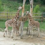 A giraffe is born with its horns known as 'ossicorns' that are formed from ossified cartilage and covered in skin