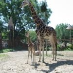A giraffe is born with its horns that lie flat