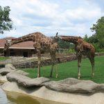 Giraffe is born with its horns but lie flat