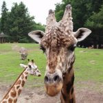 Giraffes are born with their horns but they lie flat