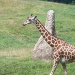 A giraffe is born with its horns but they lie flat