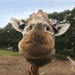 A giraffe is born with its horns but are not attached to the skull