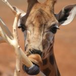A giraffe is born with its ossicorns but are not attached to the skull