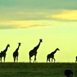 The giraffe and okapi have seven cervical vertebrae.