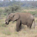 Elephants do not digest much of the food