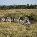 When cornered, the zebra will kick or bite its attacker