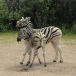 The predators of a zebra cannot see well at a distance