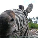 Mountain zebra is endangered