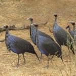 Guinea fowls belong to the Galliformes order
