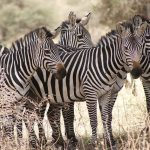 Zebras have four gaits: gallop, canter, trot, and walk