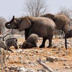 Zebras have excellent eyesight