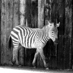 Equus quagga chaplain is the scientific name of Chapman's zebra
