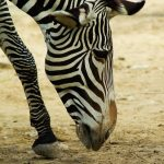 A zebra's closest relatives and horses and donkeys