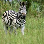 Equus quagga is one of the species of zebra