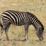 Dolichohippus is one of the subgenus of zebra