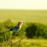 The lilac-breasted roller is one of Kenya's national birds