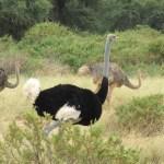 An ostrich can run upto a speed of 70 km/h