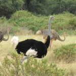 An ostrich can run upto a speed of 70 km/h