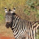 The three species of zebras are the Grevy's zebra, the plains zebras, and the mountain zebras