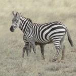 Zebras often groom each other