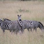 Bitings insets and predators are confused by the stripes of a moving zebra