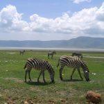 Zebras have more stripes in warmer habitats