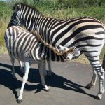 A group of zebras moving together appear as one mass of flickering stripes to the predators making it more difficult for them to pick out a target