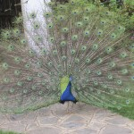 Peacock belongs to the Animalia kingdom