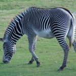 Savannas, mountains, woodlands, thorny scrublands, grasslands and coastal hills are some of the habitats of zebras