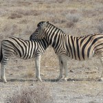 Grevy's zebra is larger than mountain zebras